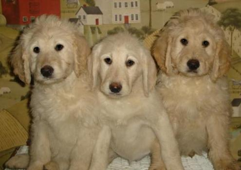 Standard Poodle Puppies on Standard Poodles   Puppies Are 6 To 10 Weeks In These Pictures